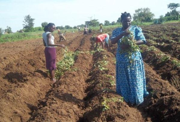 2014 - Sweet potato crop: Planting the potato vines